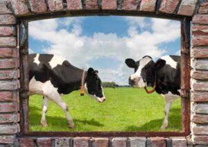 95x130 cm Boerenvenster koeien