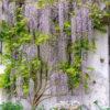 blauwe regen tuinposter tegen witte muur