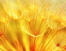 Lely geel macro