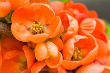 Oranje krokussen