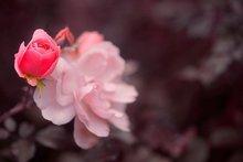 Roze roos met rozenknop