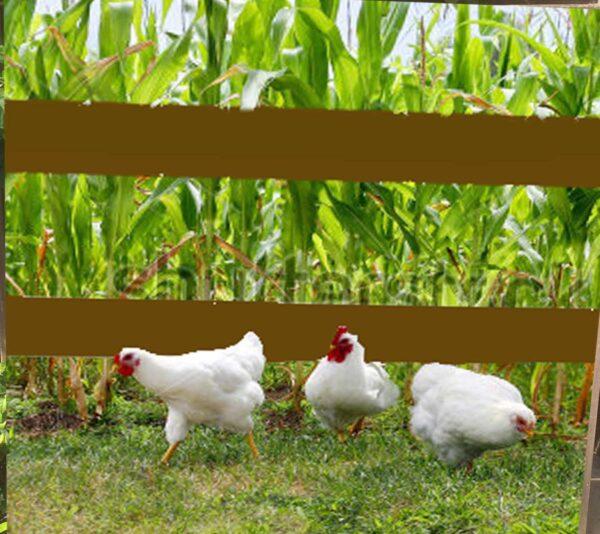tuinposter kippen onder hek