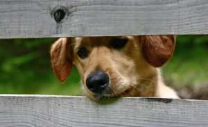 Hond door schutting 2 planken grijs