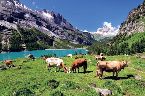 tuinposter Bergwei met koeien