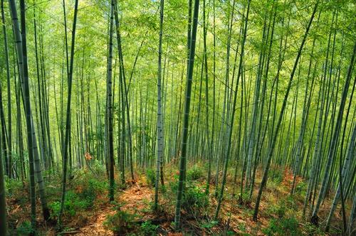 panorama tuindoek bamboe bos