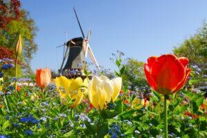 Tulpen met molen