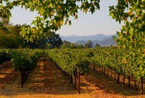 Doorkijk wijngaard