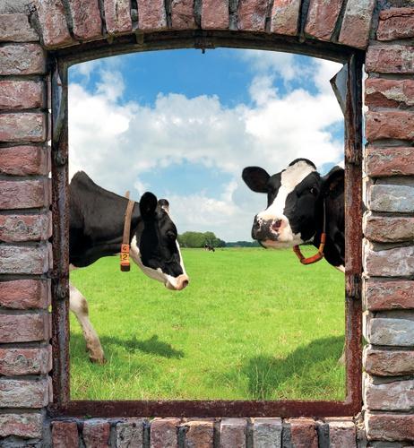 tuinposter boerenvenster koeien