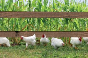 Kippen ontsnappen bruine planken