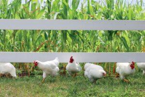 Vluchtende kippen grijze planken