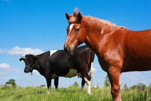 Paard en koe