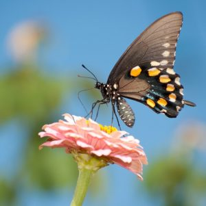 Vlinder en roze bloem