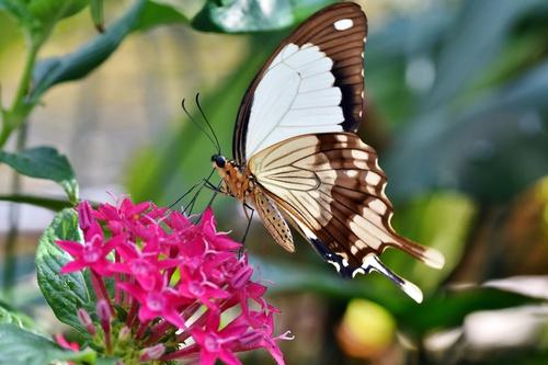 vlinder poster vlinder op roze bloem