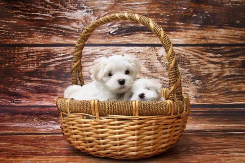 buiten poster witte puppies in rieten mand