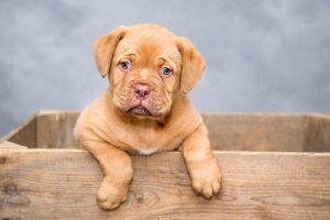 Puppy klimt uit houten kist