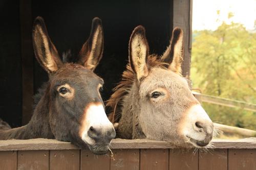 dieren poster ezeltjes over een houten hek