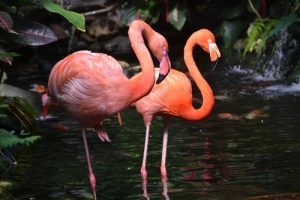 Flamingo's in water