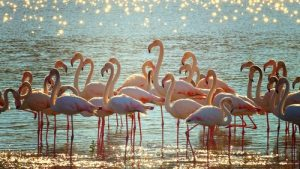 Flamingo's in water met zon