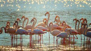 Flamingo's in water met zon