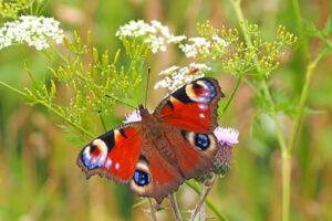 Rode vlinder op witte bloem