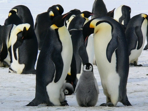 Tuindoek Pinguins in een groep