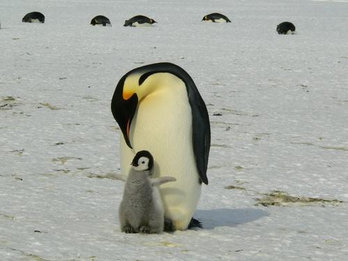 tuindoek Pinguins ouder met kind