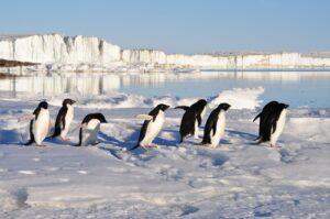 Pinguins in sneeuwlandschap
