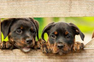 Zwarte puppies kijken door hek