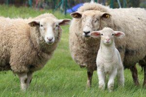 Schapen en lam in weiland