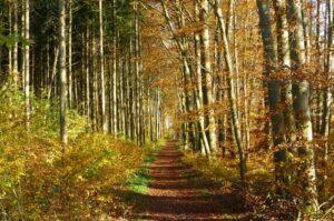 Herfstbos met berkenbomen