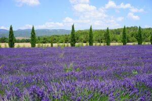 Lavendelveld met bomen