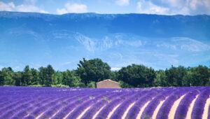 Lavendelveld met boerderij en bomen