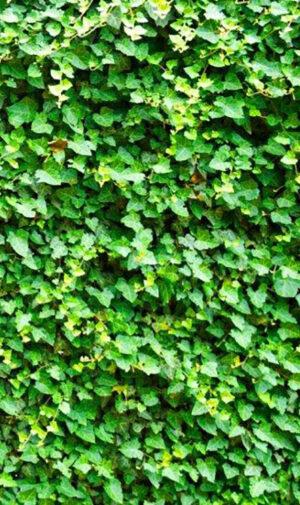 Hedera tuinposter 160x95 cm met ringen