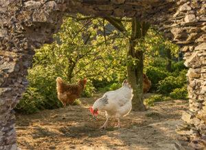 Gat in rots: kippen in bos