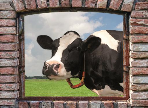 tuinposter boerenvenster 1 koe