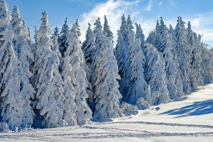 Besneeuwde bomen zonnig
