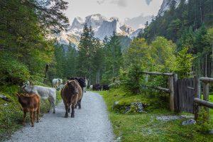 Bergpad met wandelende koeien