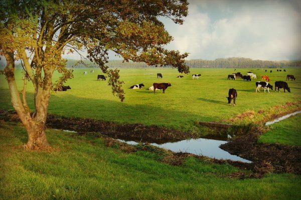 Koeien in landschap