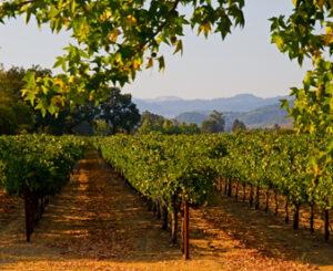 Tuinposter - wijngaard - h197xb240 cm - ringen